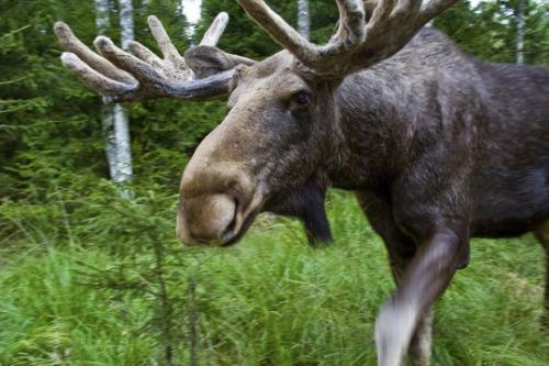 In Kamchatka, the budget for aerial accounting of moose