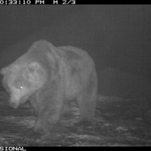 Brown bears began to wake up in Kamchatka
