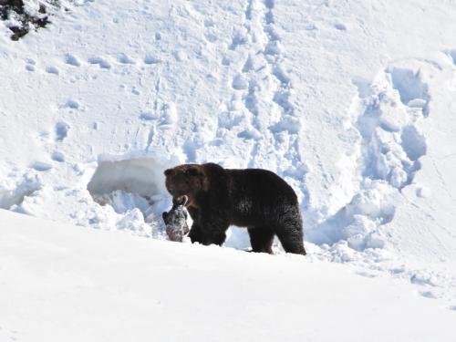 Brown bears began to wake up in Kamchatka