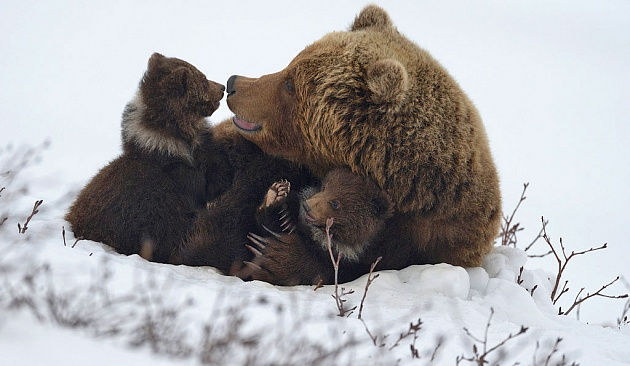 On Kamchatka they urged not to feed the bears