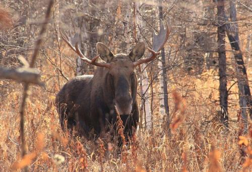 Residents of Kamchatka will tell the whole truth about moose