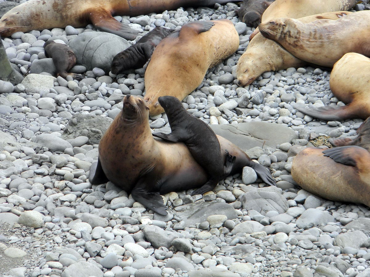 The census of the northern sea lion will be held on the island of Medny