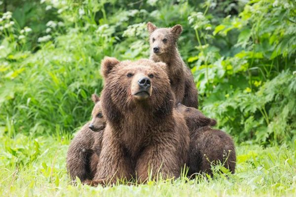 Bear cubs Matryona went to adulthood