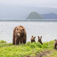 Young animals came out of their maternal care and have already become full members of the bear community