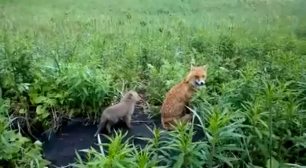 Fox Manya in the Kronotsky Reserve with one of its cubs