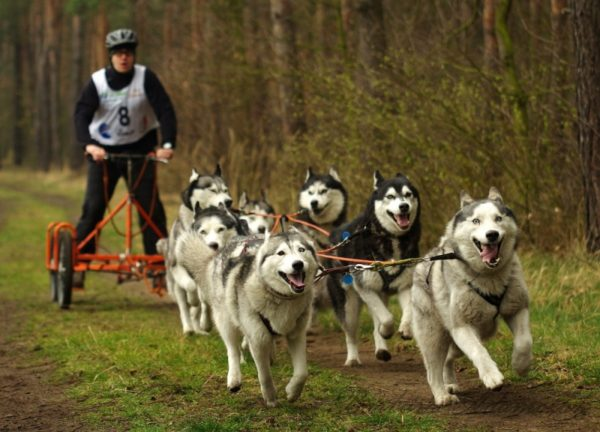 The mushers of Petropavlovsk-Kamchatsky will take part in competitions in snow-free disciplines of riding sports