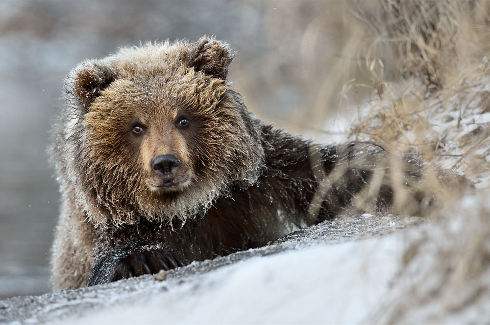 In Kamchatka, despite heavy snowfalls accompanied by strong winds, in the Kronotsky Reserve and in the South Kamchatka Federal Reserve, still not all the bears hibernated